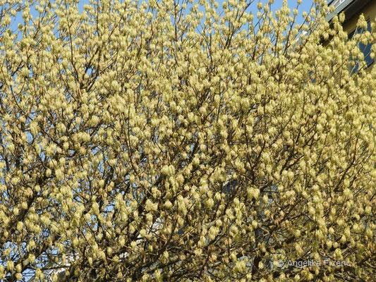 Acer negundo ssp. negundo - Eschen Ahorn blühend      © Mag. Angelika Ficenc