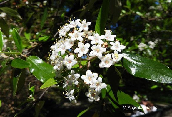 Viburnum utile - Nützlicher Schneeball, Blütenstand