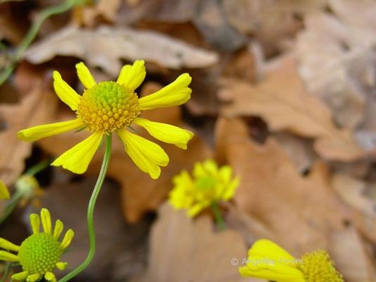 Helenium amarum - Sonnenbraut
