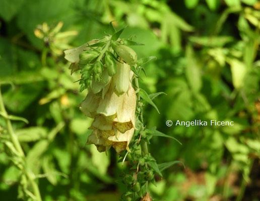 Digitalis grandiflora © Mag. Angelika Ficenc