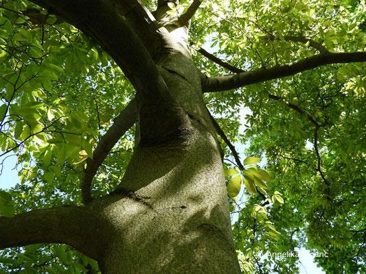 Magnolia x loebneri (M. kobus x M. stellata), Stamm