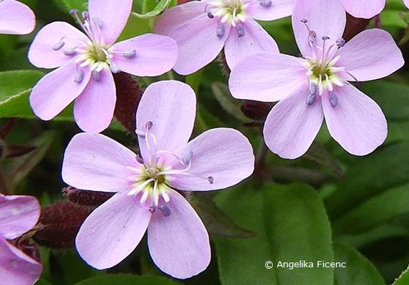 Saponaria ocymoides - Kleines Seifenkraut, Blüten
