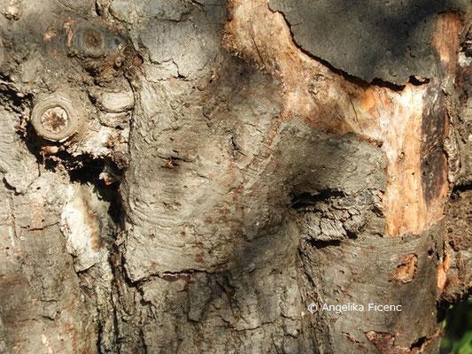 Caprinus betulus  © Mag. Angelika Ficenc