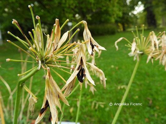 "Agapanthus ""Liliput""  © Mag. Angelika Ficenc"
