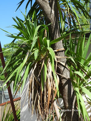 Cordyline australis - Keulenlilie, Laubblätter  © Mag. Angelika Ficenc