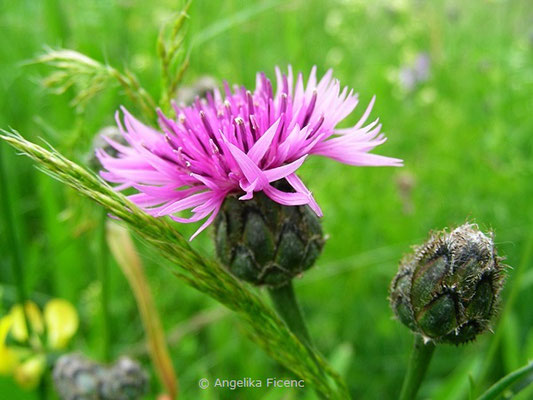 Centaurea scabiosa - Skabiosen Flockenblume  © Mag. Angelika Ficenc