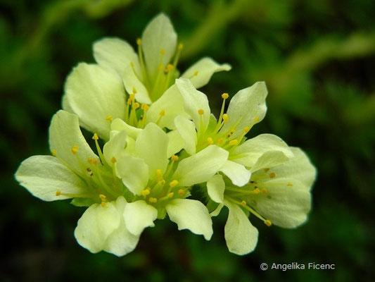 Saxifraga sancta - Steinbrech  © Mag. Angelika Ficenc