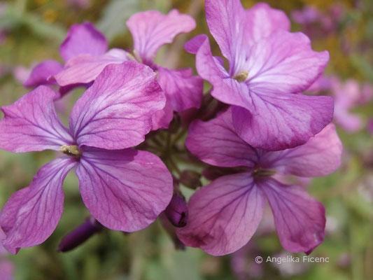 Lunnaria annica - Silberblatt, Blüten