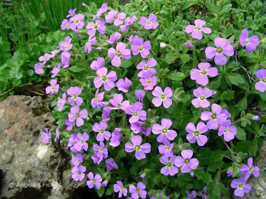 Aubrieta binardi - Blaukissen