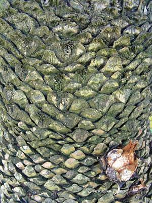 Cycas revoluta - Japanische Sagopalme  © Mag. Angelika Ficenc