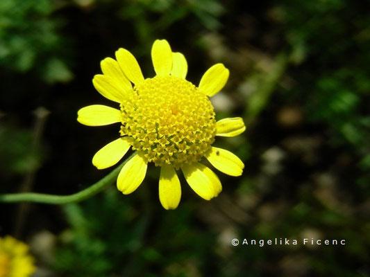 Anthemis tinctoria - Echte Färberkamille, Blüte in Aufsicht