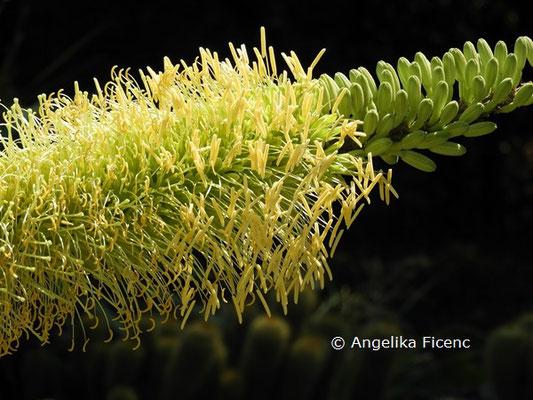 Agave victoriae-reginae  © Mag. Angelika Ficenc
