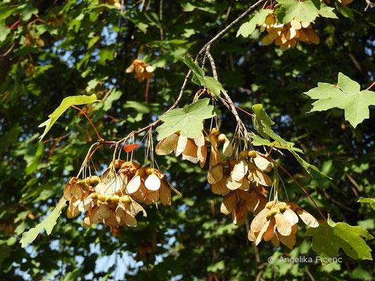 Acer hyrcanum - Balkan Ahorn,reife Früchte