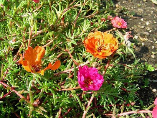 Portulaca grandiflora - Portulakröschen  © Mag. Angelika Ficenc