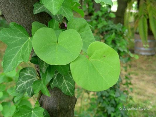 Cercis siliquastrum - Gewöhnlicher Judasbaum, Laubblätter