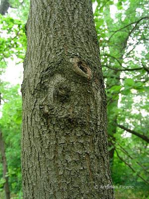 Cercis siliquastrum - Gewöhnlicher Judasbaum, Stamm
