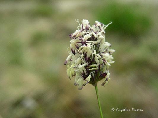 Sesleria sadleriana - Pannonisches Blaugras, Blütenstand
