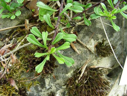 Globularia cordifolia - Herzblatt Kugelblume, Laubblätter