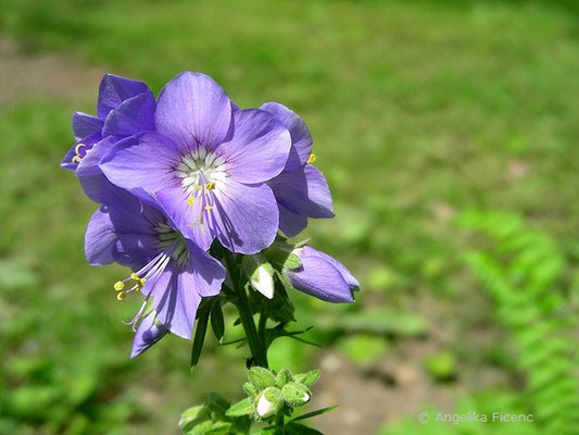 Polemonium caeruleum - Himmelsleiter, Blütenstand