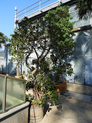 Ficus rubiginosa - Rost Feige