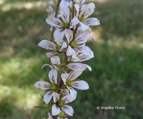 Francoa sonchifolia  © Mag. Angelika Ficenc