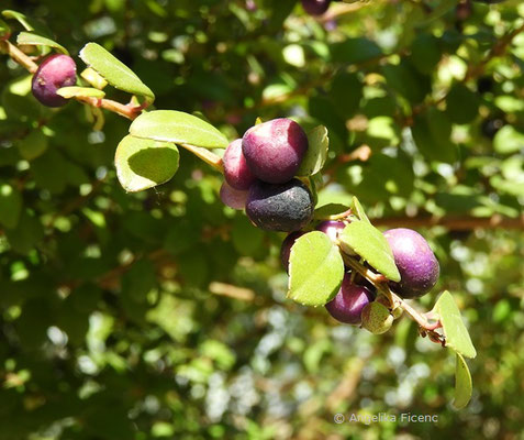 Myrsine africana - Myrsine, Früchte  © Mag. Angelika Ficenc