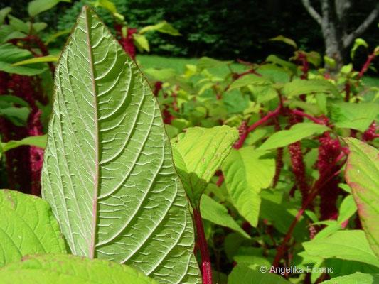 Amaranthus caudatus - Garten Fuchsschwanz, Blatt