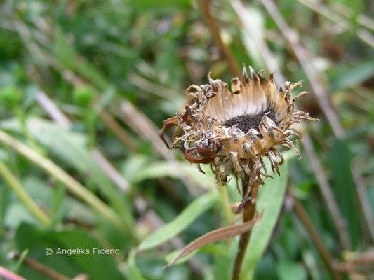 Grindelina robusta, Samenstand  © Mag. Angelika Ficenc