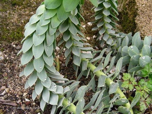 Euphorbia myrsinites - Walzen Wolfsmilch, Blätter