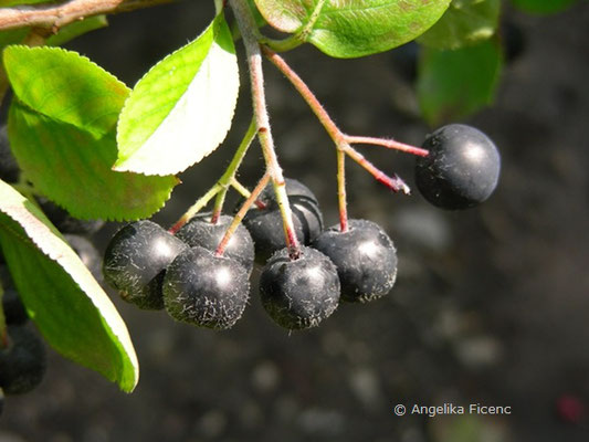 Aronia melanocarpa - Kahle Apfelbeere, Früchte  © Mag. Angelika Ficenc