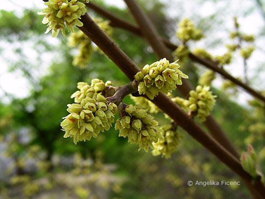 Rhus aromatica - Essigbaum,Blütenstand