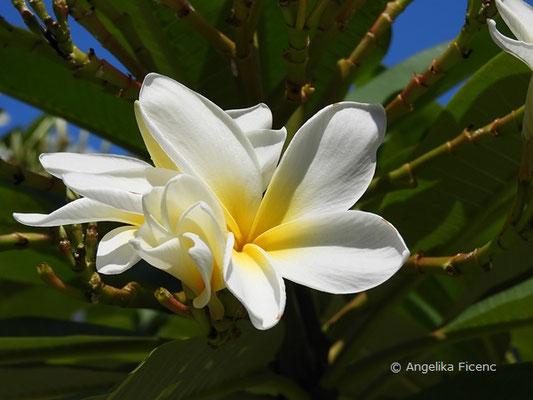 Plumeria alba, Blüte