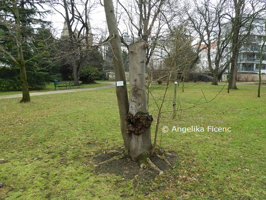 Magnolia salicifolia © Mag. Angelika Ficenc