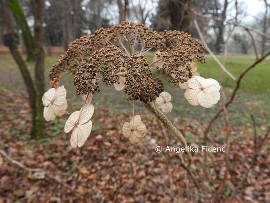 Hydrangea aspera ssp. sargentiana © Mag. Angelika Ficenc