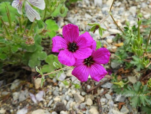 Geranium subcaulescens var., Blüten