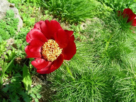 Paeonia tenuifolia - Schmalblättrige Pfingstrose