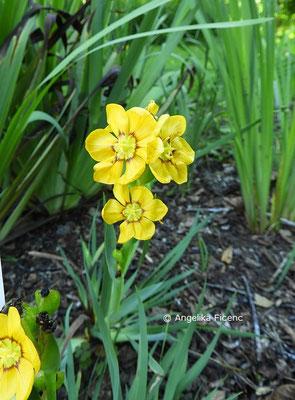 Sisyrinchium macrocarpum, Blütenstand  © Mag. Angelika Ficenc