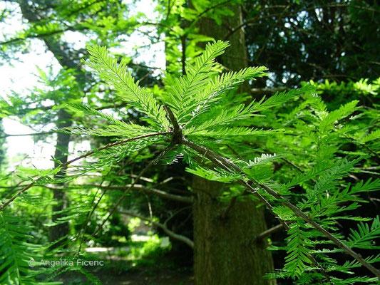 Taxodium distichum - Sumpfzypresse