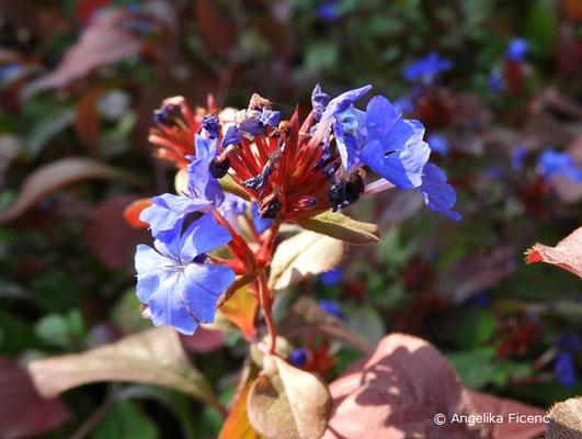 Ceratostigma plumbaginoides, Blütenstand
