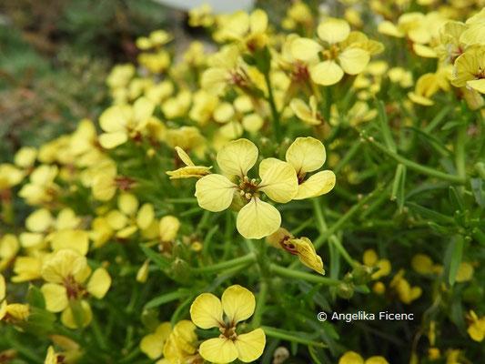 Vella spinosa - Blüten  © Mag. Angelika Ficenc