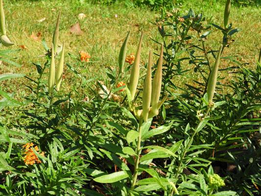 Asclepias tuberosa, Fruchtstand mit Früchten
