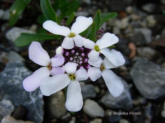 Iberis simplex - Schleifenblume  © Mag. Angelika Ficenc