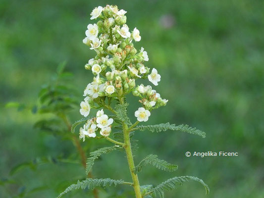 Chamaebatiaria millefolium  © Mag. Angelika Ficenc