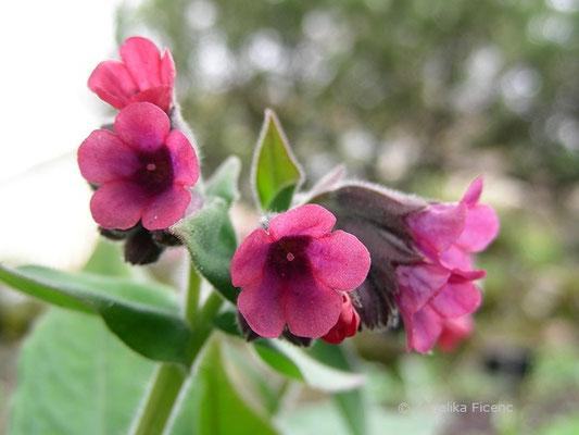 Pulmonaria angustifolia - Schmalbaltt Lungenkraut