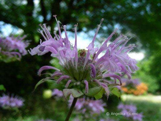 Monarda fitulosa - Späte Indianernessel  © Mag. Angelika Ficenc