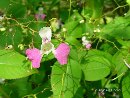 Impatiens balfourii - Balfour´s Springkraut  © Mag. Angelika Ficenc
