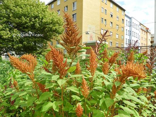 Amaranthus cruentus © Mag. Angelika Ficenc