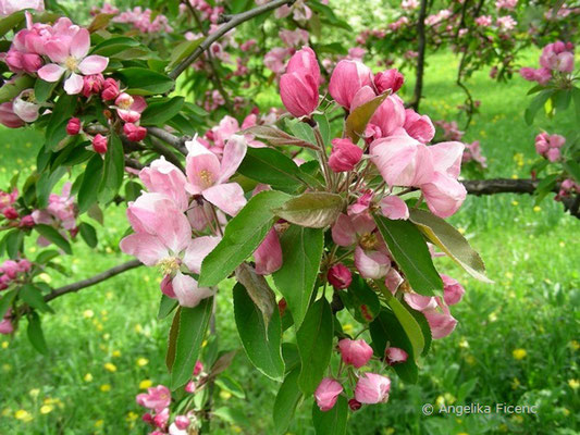 Malus sp. rosa - Apfel
