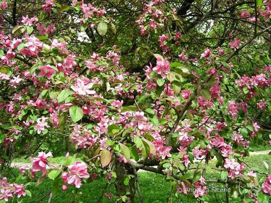 Malus sylvestris rosa - Wildapfel  © Mag. Angelika Ficenc
