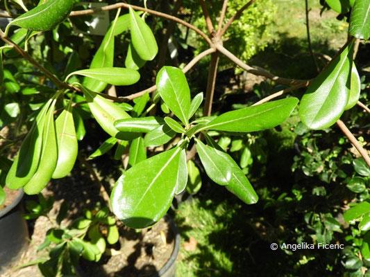 Pittosporum brevicalyx - Klebsame, Laubblätter